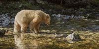 White-Spirit-Bear_Reflection-30x60-800x