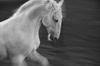 Lusitano-Stallion_37.7x25-_canvas-GG-800x