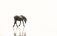 Dance-in-My-Mirror_Sable-Island-Foal_34x22-canvas-GG