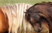 Trust-_Sable-Island-mare-and-stallion_-canvas-38.5x24-GG